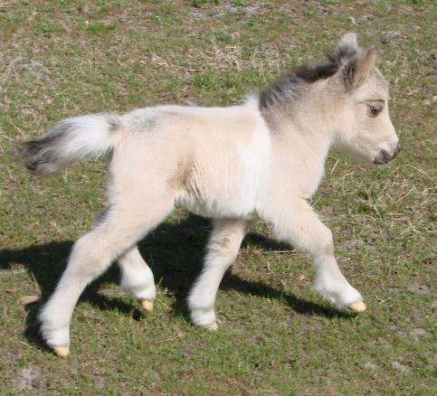 CottonCandyFoal1