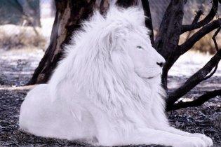 BL lion