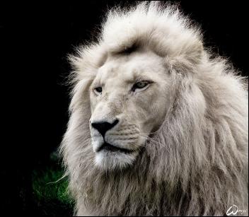 BL lion 3